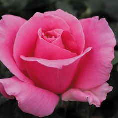 """Eiffel Tower, A continual blooming gold medal winner in Geneva and Rome. Pointed buds with a wonderful expensive perfume fragrance, make this an impressive rose. The 5"""" blooms (petals 35) are high centered and medium pink, backed up by leathery semi-glossy foliage. Makes a good cut flower."""