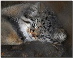 Night! Pallas cat | Manul