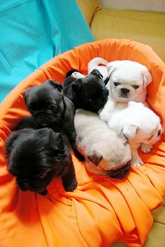 white pug puppies!  Wow where do I get one? I've got a black and fawn. Now I need a white. So cute.