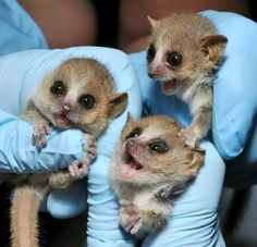 Behold the Cuteness: Tiny Gray Mouse Lemurs Born At Duke Lemur Center - These are baby Gray Mouse Lemurs (Microcebus murinus) that were born at the Duke Lemur Center as part of a special breeding program. This photo shows triplets who arrived on June 5th, 2012. Gray mouse lemurs are among the world's smallest mammals. They only weigh 1/8 of a lb as adults! There are 17 different species of mouse lemur, but they all look pretty much the same and genetic testing is the only way to tell them apart.