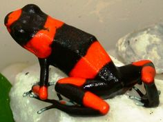 Viewing Gallery For - Red Poisonous Frogs