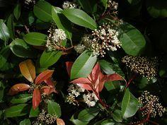 Αειθαλής θάμνος, με εξαιρετικά εντυπωσιακό φύλλωμα το οποίο κοκκινίζει στη νέα βλάστηση. Το ύψος του φτάνει τα 3-4 m. Τα φύλλα είναι επιμήκη, σκληρά και πολύ φωτεινά. Ανθίζει Μάρτιο-Απρίλιο και έχει εύρος ανθοφορίας 15-20 μέρες. Προτιμά ηλιαζόμενες ή ημισκιερές θέσεις. Ο ρυθμός ανάπτυξής της είναι μέτριος. Αναπτύσσεται καλύτερα σε ελαφρά, ηλιαζόμενα και αποστραγγιζόμενα εδάφη. Αντέχει στους παγετούς και το ψύχος, με την επίδραση των οποίων κοκκινίζουν τα φύλλα της το χειμώνα. Φύτευση είτε… My Secret Garden, White Flowers, Plants, Leaves, Soil Texture, Secret Garden, Shrubs, Small Trees, All Plants