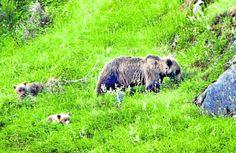 Una osa con sus dos crías avistada por la Fundación Oso Pardo (FOP) en los montes lebaniegos. :: FOP