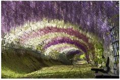 . #wisteria #tunnel, #hampton court, herefordshire