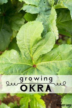 Okra is a healthy addition to your plate, and a beautiful bloomer in the garden. Growing your own is easy. Here's how.