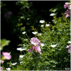 Puutarha / garden - Geraniums