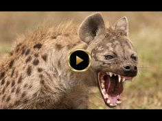 Original Owner Surprises HYENA on its 4 year old birthday! - YouTube