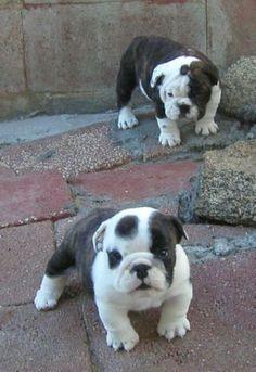 Cute bulldog baby... isn't he just precious!!!
