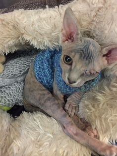 """The moment 24-year-old Phoebe Gill first saw a picture of Stitch, the one-eyed bald kitty, she immediately knew she just had to adopt her.        """"She had an injury to her eye, which would have been cured"""