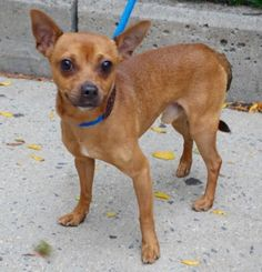 SAFE❤️❤️ 10/11/16 PELVIS FRACTURE!! SUPER URGENT Manhattan Center KUBO – A1091267 ***PELVIC FRACTURE*** MALE, BROWN, CHIHUAHUA SH MIX, 4 yrs STRAY – STRAY WAIT, NO HOLD Reason STRAY Intake condition INJ MINOR Intake Date 09/25/2016, From NY 11226, DueOut Date 09/28/2016,