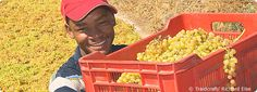 Michael Silwer from EAC harvests the South Africa grapes that become Fairtrade, sun-dried raisins used in Traidcraft's Christmas Cake and Geobars