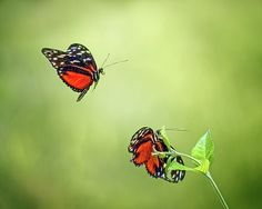 """In Flight"" by Nikolyn McDonald captures a pair of golden longwing butterflies, also known as a tiger longwing, in mating display, one resting on a leaf and the other in mid-air.  The soft, yellow-green background sets of their orange, black and white wings beautifully. butterfly,heliconius hecale,nature,insect,flying,tropical,antenna,fragile,papilio,papillon,plant,green,greenery,leaves,two,spring,summer,garden,color,beautiful,flora,fauna,colorful,exotic,bokeh,at rest,nikki,nikolyn,mcdonald"