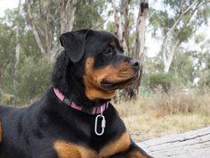 [:it]Rottweiler[:] - rottweilers #ROTTWEILER #cuccioli #cani #doglover #cuccioli