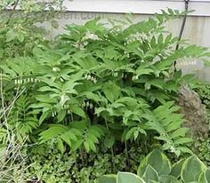 Solomon's Seal: About the Plant