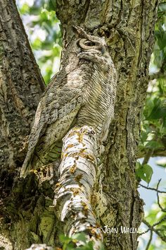 Great Horned Owl -- A Great Horned Owl sitting on a tree branch near her owlets that are resting in a nearby tree in Yellowstone National Park.