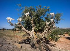 That's a lot more goats in a tree than I expected to see. This is near Sidi Mokhtar, Morocco. (Actually there is another tree back there full of goats too)