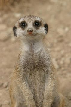 "A smiling meerkat. ""The love for all living creatures is the most noble attribute of man."" - CHARLES DARWIN"