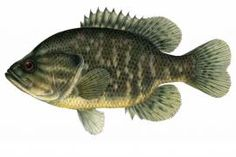 """Warmouth: Webster's doesn't hazard a guess as to how this fish got its common name, but the scientific name translates to """"large-mouthed"""" sunfish—and males defend their nests and eggs with a fierce display with widened gill covers, blood-red eyes and intense yellow color. 
