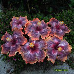 Hibiscus 'Taiwan Gem'