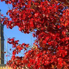 En estas fechas, nuestro peral ornamental #PyrusCalleryana #Chanticleer se siente #FlordePascua y también lo apuesta todo al #ROJO. #Otoño #Autumn #Fall #Invierno #Winter #Navidad #Navidá #Christmas #HojasSecas #AutumnLeaves #Jardín #Botánico #Atlántico #Atlantic #Botanic #Garden #Gijón #Xixón #Asturias #Asturies #AsturiasConSal #GijonAsturiasConSal #GijonNorthernSpainWithZest #GijonleNorddelEspagnequipetille #Turismo #Tourism