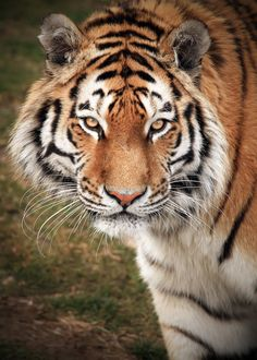 Amur Tiger by Alan Hinchliffe*