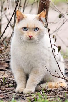Tabby Cats Facts Mysterious white cat, a beauty. Cute Cats And Kittens, I Love Cats, Crazy Cats, Kittens Cutest, Pretty Cats, Beautiful Cats, Animals Beautiful, Cute Animals, Pretty Kitty