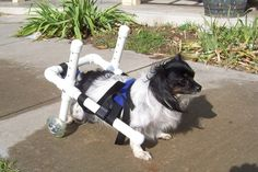 21 Brave Dogs In Wheelchairs