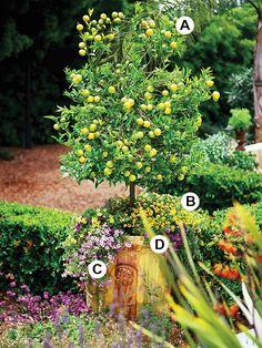 A. Citrus 'Pixie Tangerine': 1 B. Calibrachoa 'Starlette Yellow': 3 C. Calibrachoa 'Cabaret Lavender': 2 D. Calibrachoa 'Cabaret Purple': 2