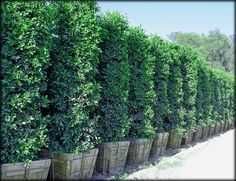Ficus Nitida columns make great large privacy hedges. ~Raquel ...