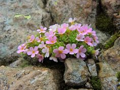 ANDROSACE ALPINA (Androsace dei ghiacciai. Alpen-Mannsschi… | Flickr Bloom Where Youre Planted, Planting Flowers, Flower Pots, Beautiful Flower Arrangements, Flower Pot Design, Beautiful Flowers, Rock Flowers, Love Flowers, Alpine Flowers