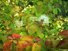 cornus mid winter fire - Google Search