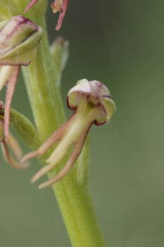 Man-Orchid: Aceras anthropomorphum - Flickr - Photo Sharing!