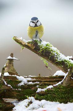 Credit: Richard Bowler/REX/Richard Bowler/REX Blue tit in snow in the Berwyn mountains in north Wales, Britain.