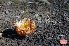 http://nassugallery.saleshop.jp/ #japan #plants #flower #Camellia #椿 #花 #植物 #photo