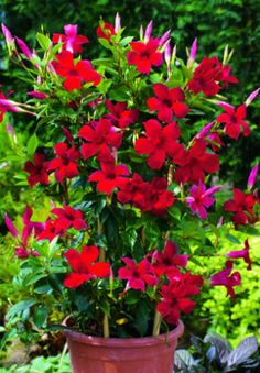 Sun Parasol Mandevilla...Giant Crimsom...In a pot on front walkway???   These new Mandevilla vines are bred for their gorgeous rich red color and long-lasting blooms. Once they are established they require very little care. They are super easy to grow and are a favorite of hummingbirds. They climb 12 - 15 feet high and are perfect as a trailing plant in hanging baskets and window boxes or to climb over trellises and arbors. Plant in full sun.