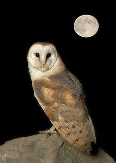 Natures Images - wildlife photography holidays and wildlife photography workshops - Night Owls. Owl Bird, Pet Birds, Bird Art, Tyto Alba, Nocturnal Birds, Owl Photos, Wise Owl, Nature Images, My Animal