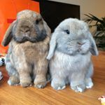 Two happy minilop twin bunnies who live in London 🇬🇧. Mad about treats! This page is for all the bunny lovers 🐰🐰 #bunnies #rabbits #minilop #bunny
