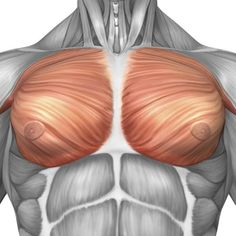 Stocktrek Images Stretched Canvas Art - Anatomy of male pectoral muscles. - Large 29 x 29 inch Wall Art Decor Size. Chest Workout For Men, Male Chest, Male Fitness Models, Human Anatomy And Physiology, Muscle Anatomy, Chest Muscles, Massage Benefits, Body Reference, Anatomy Drawing