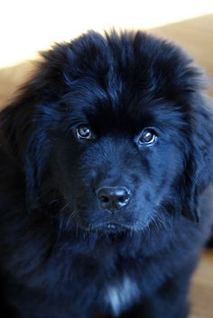 If you weren't the size of a small pony, there would be no doubt. Cute Puppies, Cute Dogs, Dogs And Puppies, Baby Animals, Cute Animals, Terra Nova, Newfoundland Puppies, Puppy Face, Nikko