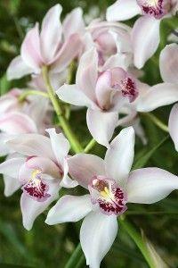 Cymbidium   Cymbidium Orchids - 10 Essentials for Growing Stunning Cymbidiums ...