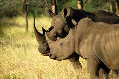 Deux rhinocéros noirs du parc naturel de Singita Kruger en Afrique du Sud. D'une superficie de 15 000 hectares, ce parc se trouve au beau milieu de deux fleuves. Cette photo est tirée de l'émission « Safari Live »