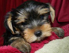 Riky – Yorkshire Terrier | Cuccioli di kaya e Lilifee