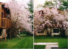Tamarisk 'Pink Cascade'