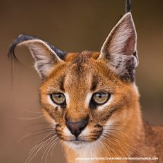 Caracals get their name from the Turkish word for 'black ears.' The largest of Africa's small cats, these felines are incredibly agile. They can leap 3 meters (nearly 10 feet) into the air, and are able to take out multiple birds in a single strike! Small Wild Cats, Small Cat, Big Cats, Cool Cats, Pumas, Lynx, Animals And Pets, Cute Animals, Wild Animals
