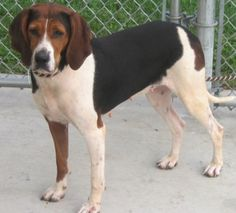 Treeing Walker F 2 years 60 lbs named Kensie in Amherst, VA @ Humane Society of Amherst County Adoption Center 434-946-2340 hsofac@gmail.com