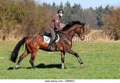 Oldenburg Horse, gelding, hacking, hack, riding out, helmet, German Riding Horse Stock Photo