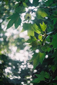 light and green leaves