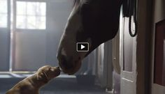 We are just few days from the Super Bowl and big companies are trying to create some really good ads. Budweiser has created a really unique commercial that will probably be one of the best for this year. It follows a short story about a golden retriever puppy and its buddy – a horse. Look at this commercial until the end it is really touching.
