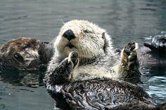 Seattle Aquarium sea otters  (via komonews.com)