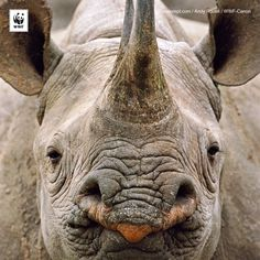 #throwbackthursday… NO! Today we honour those who work tirelessly to stop wildlife crime & protect our world's most threatened species, such as this beautiful black #rhino. Happy #WorldRangerDay!